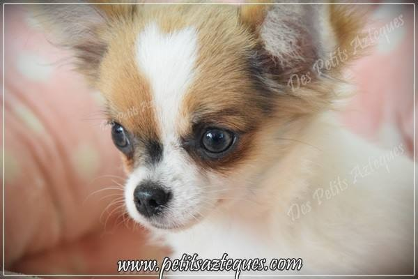 chiot chihuahua poils longs yeux bleus