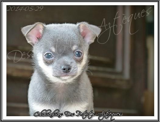 chihuahua aux yeux bleus
