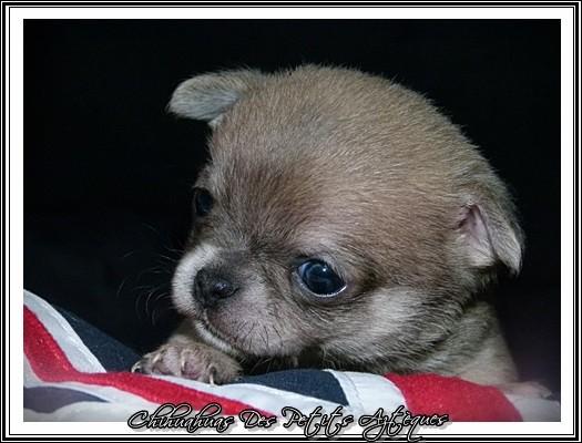 bébé chihuahua yeux bleus