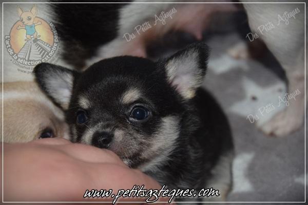 Photos de chihuahua