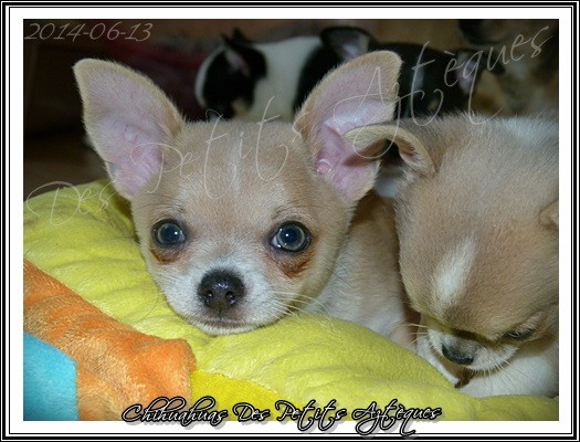 chiot chihuahua yeux bleus