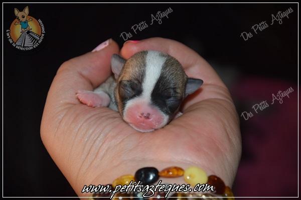 petit chiot chihuahua
