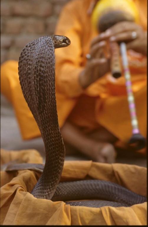 Schlangenbeschwörer, Indien