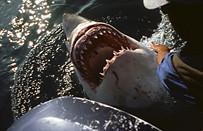 Weisser Hai bei Gaansbai, Südafrika