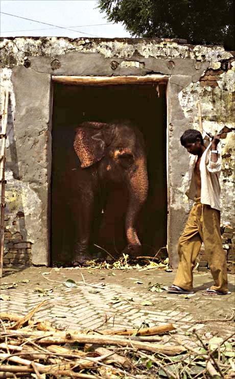 Stadtelefant, Delhi