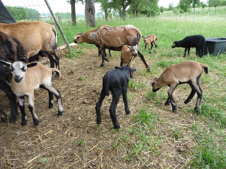 7 Schaflämmer und 5 Bocklämmer fielen diesen Sommer in dieser Zuchtgruppe.