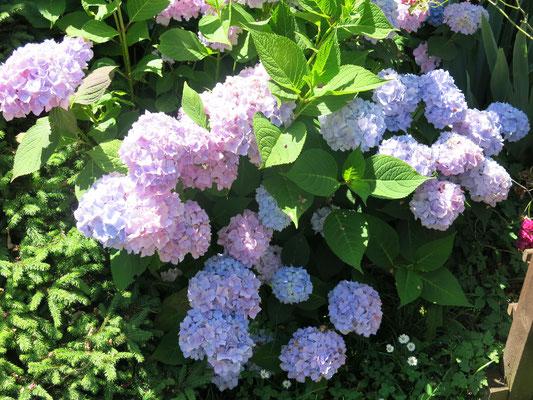 Hortensie nach Winterschnitt, üppig nachgewachsen. Diese blüht den ganzen Sommer.
