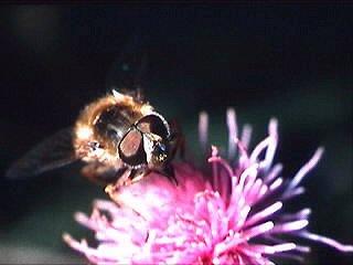 Hummeln brauchen Blüten © Martin Lilienthal.jpg
