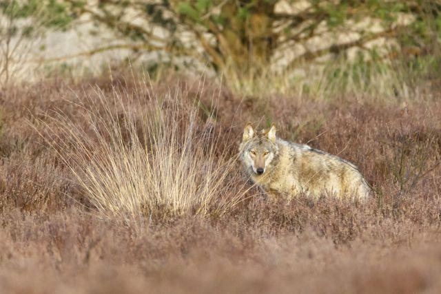Wolf in der Heide_ws.jpg (NABU)