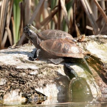 Sumpfschildkröte; Bernd Breitfeld NABU