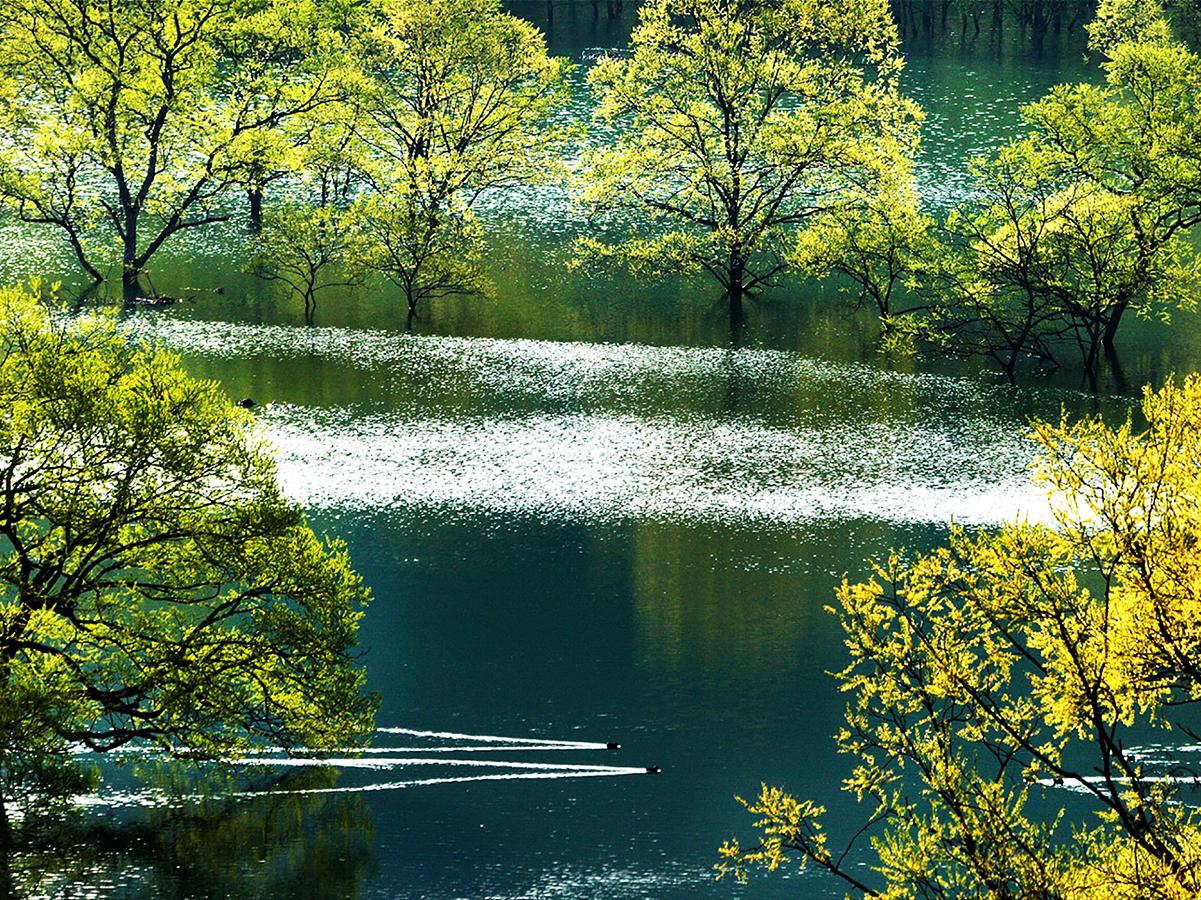 4月 新緑鴨泳ぐ白川湖(須郷)