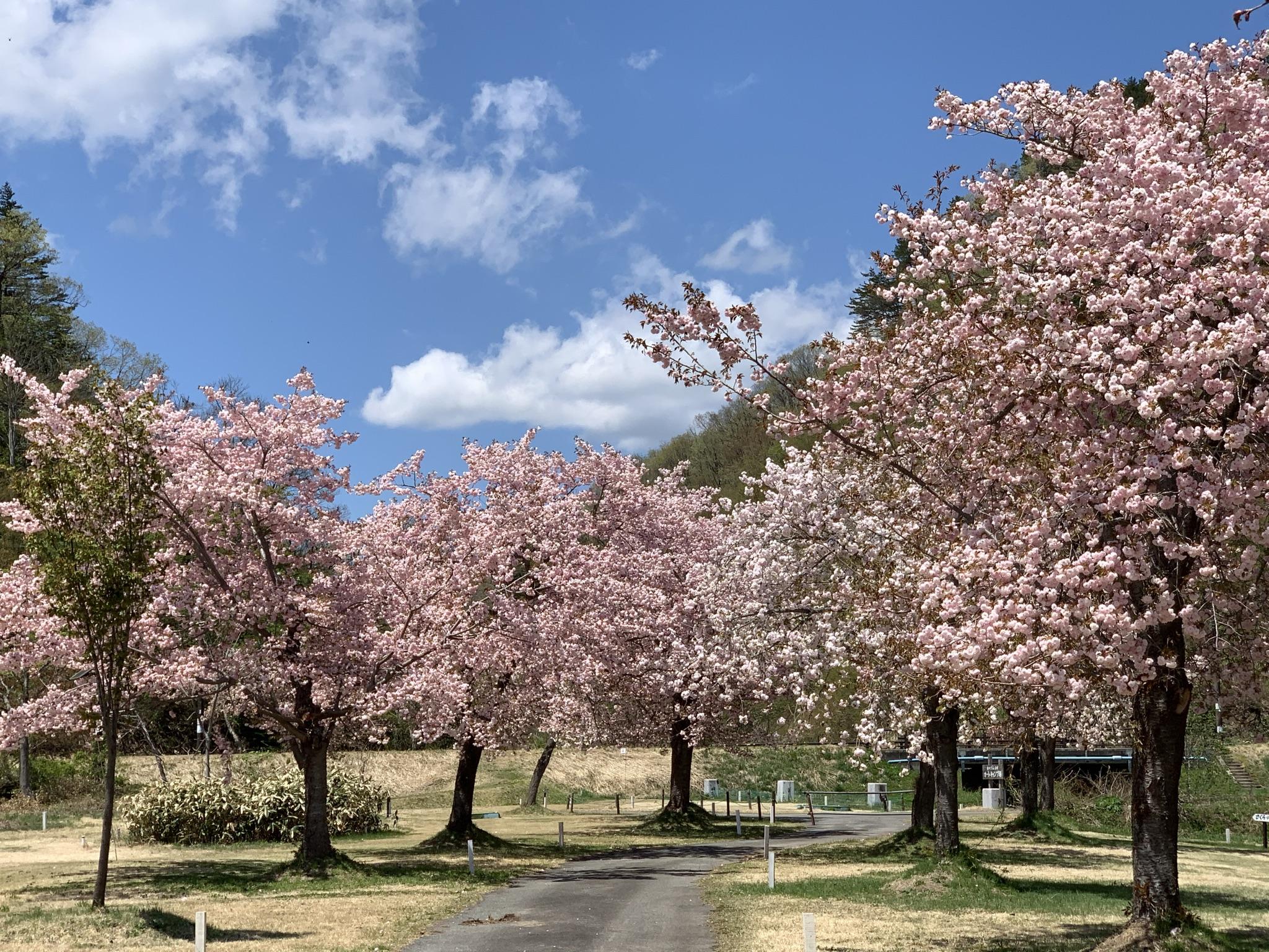 4月 白川湖岸公園の桜並木(須郷)