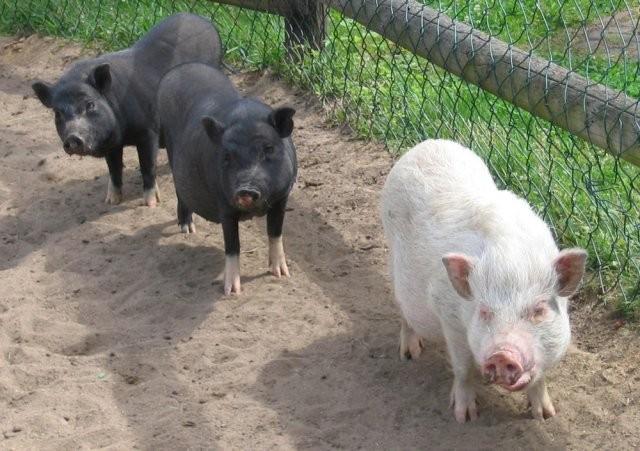 Herr & Frau Schwein