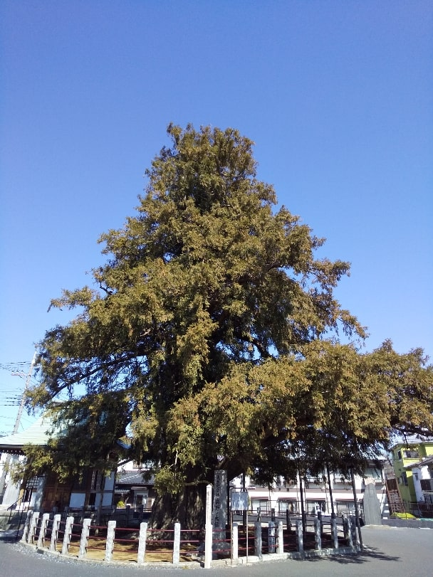 与野の大かやの木