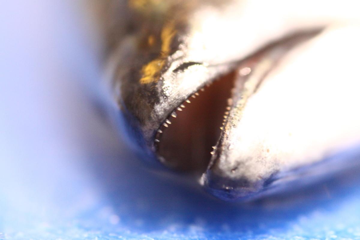 Fischkopp