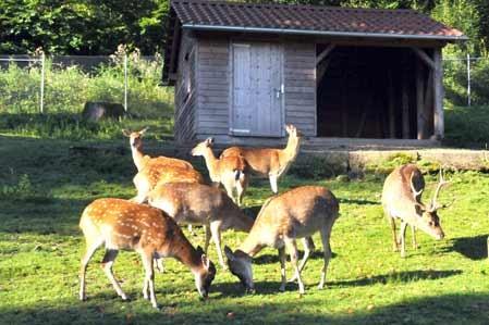 Auch unsere Sika-Herde fühlt sich sichtlich wohl im Schwarzwaldzoo.