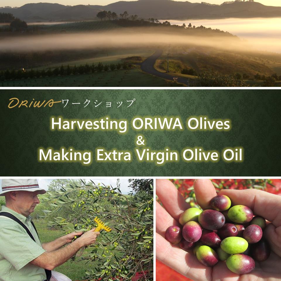 9/25(土)ORIWAワークショップ「Harvesting ORIWA Olives & Making Extra Virgin Olive Oil」開催!