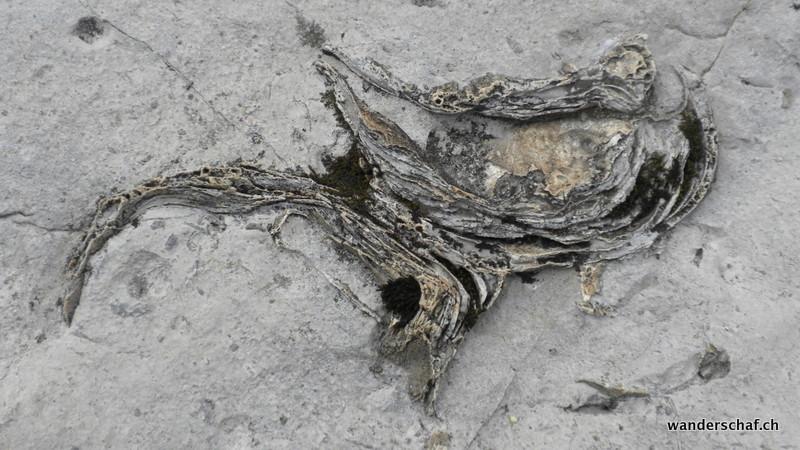 viele Versteinerungen sind in den Kalkfelsen zu finden