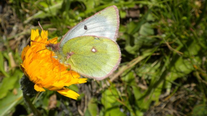 ...auch so ein Schmetterling ....den kann ich leider nicht bestimmen ;o)