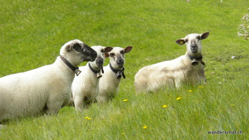 """meine """"Freunde"""" die Schafe"""