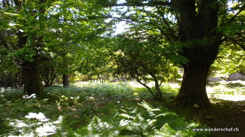 durch einen schönen Kastanienwald geht's runter