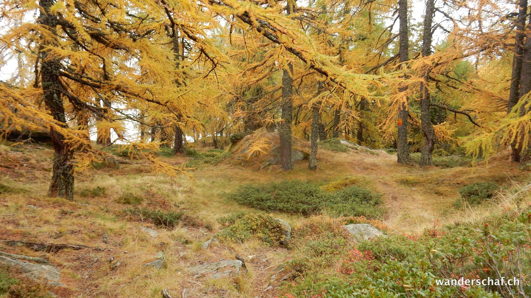 Lärchengold im Abstieg Richtung Birgisch