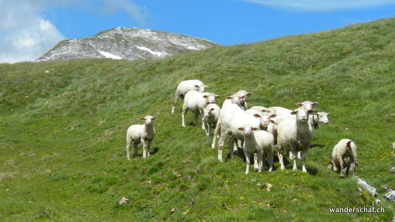 Schaf unterwegs Richtung Bälmete