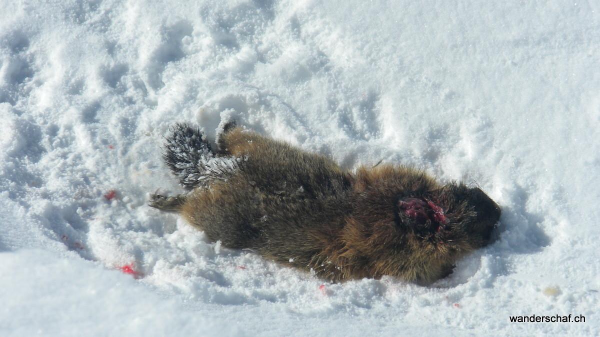 des Rätsel's Lösung: der Fuchs hat sich ein Festmahl geholt.