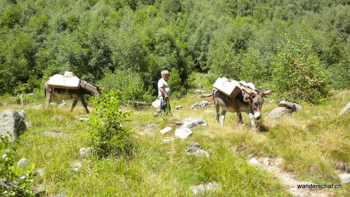Käsetransport von der Alp Cedo