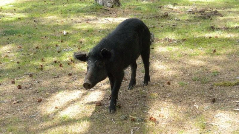 Begegnung mit einem verwilderten Hausschwein, von welchen es auf Korsika ganz viele hat