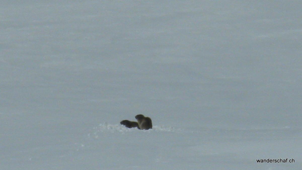 ungetarnt mitten in noch haufenweisem Schnee sitzen die verdatterten Murmeltiere