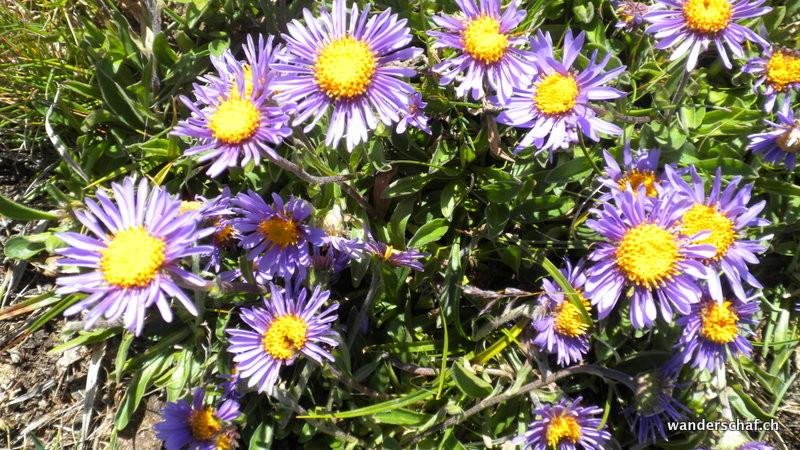 überall blühen schöne Alpenaster