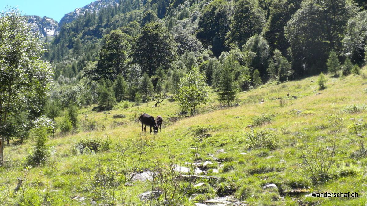 Esel und Gämse auf der Weide