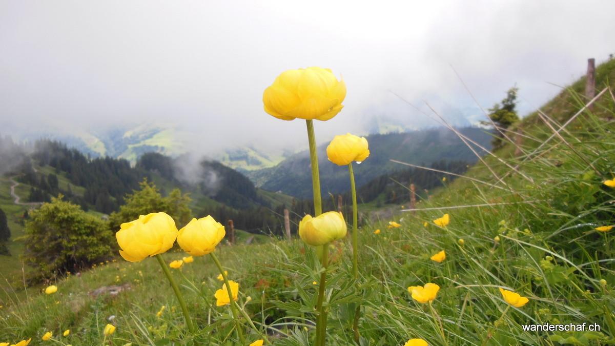 schöni Ankebäueli oder in der Fachsparache Trollblume