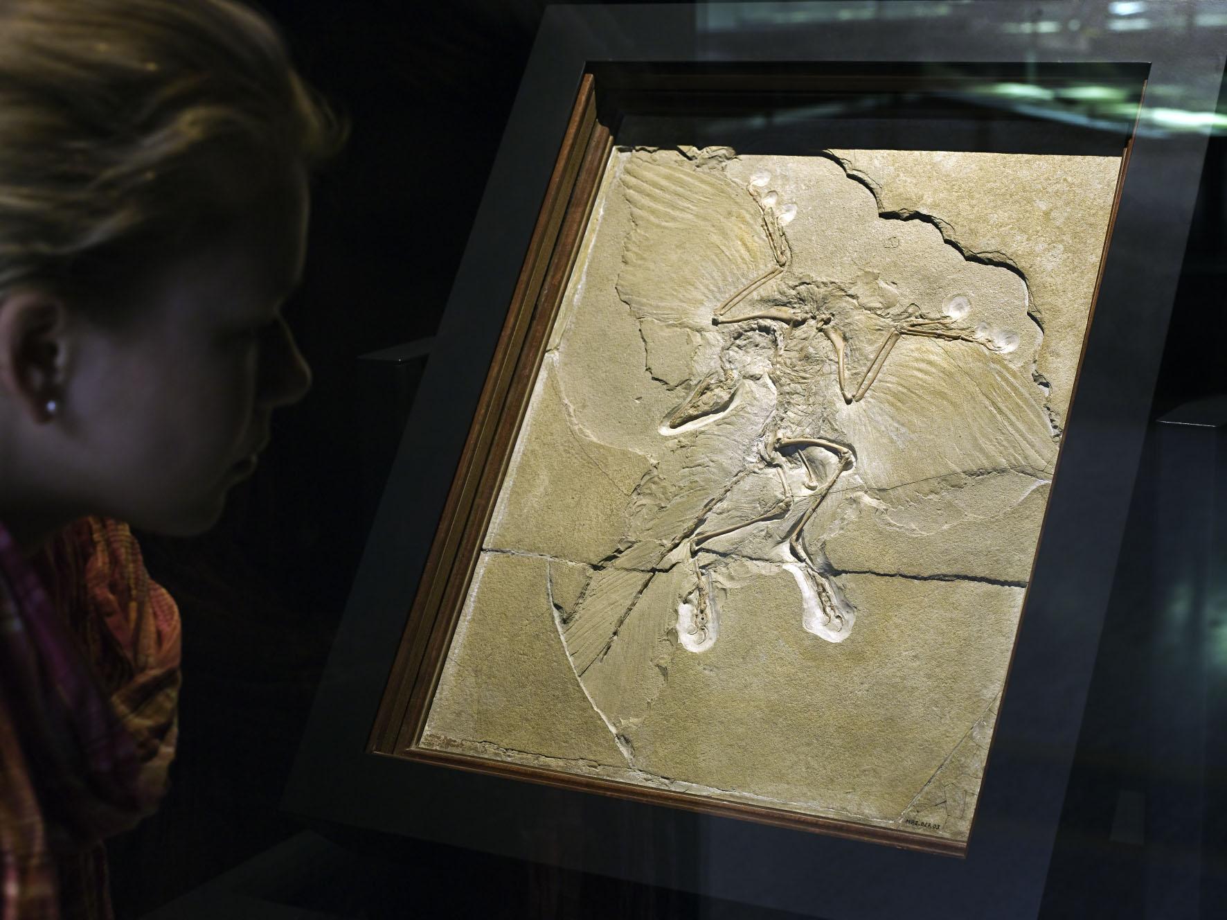 Archaeopteryx | Foto © Carola Radke | Museum für Naturkunde Berlin