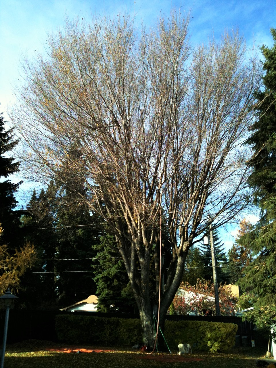 A Mature American Elm 25 years after being topped. The canopy is full of dead limbs, crossing limbs, and has become self damaging