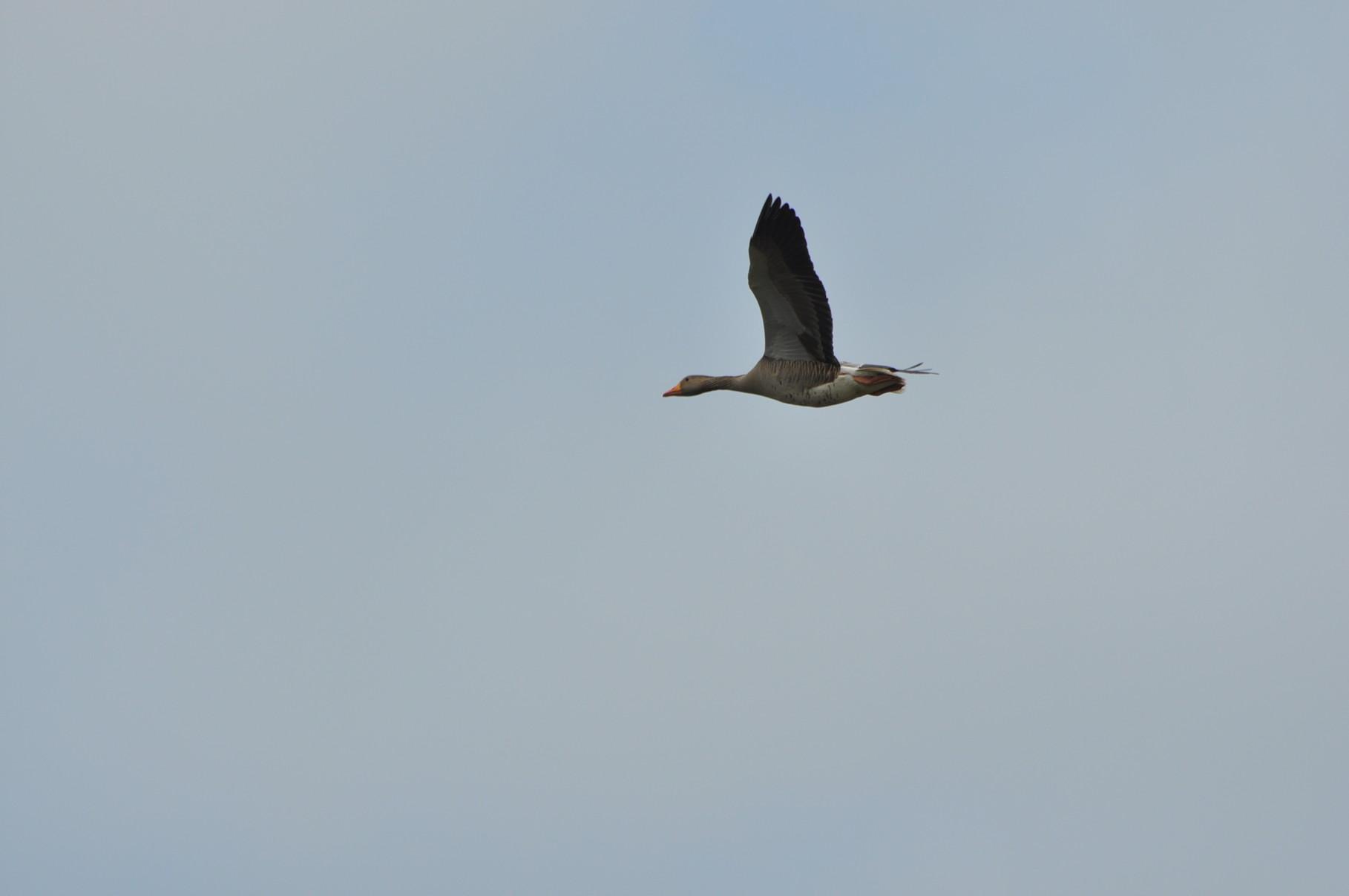 Vogelbeobachtung in den  Meerbruchwiesen am Steinhuder Meer