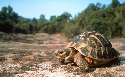 La tortue d'Hermann dans la Plaine des Maures du Var