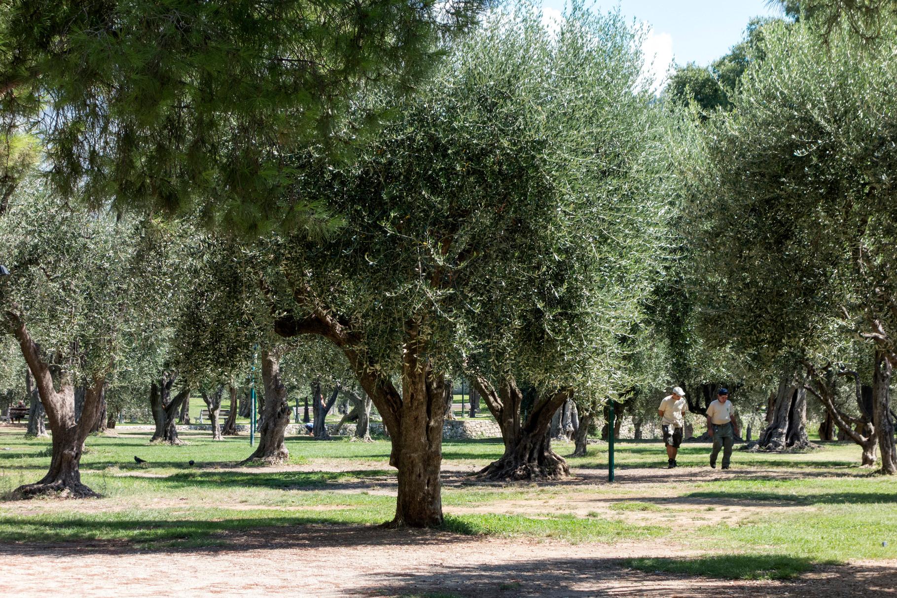 Olivenbäume - Parc de Cimiez