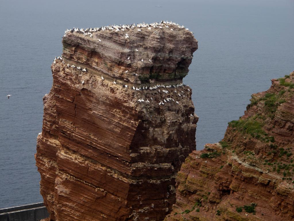 Die Lange Anna, bevölkert mit Basstölpeln, den größten Vögeln der Nordsee
