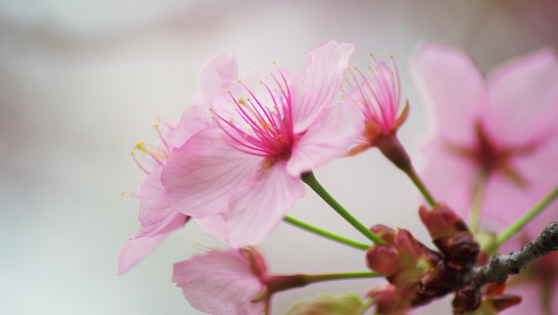 Dimanche 16 avril: un peu de douceur avec cette fleur de cerisier au jardin botanique de Toronto