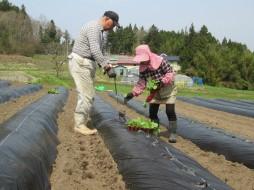 畑への定植作業