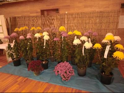 なのはなフプラザで時々お会いする佐藤勝一さんの育てた菊。