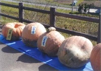 「どでかぼちゃ大会」は10月中旬開催。今年の出来が楽しみです。