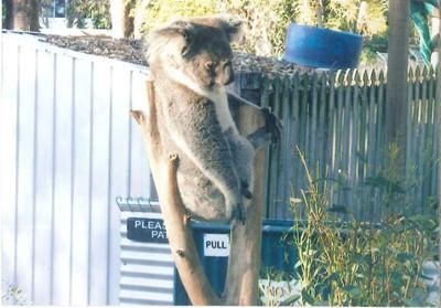 こちらのコアラは起きているのか、眠っているのか?