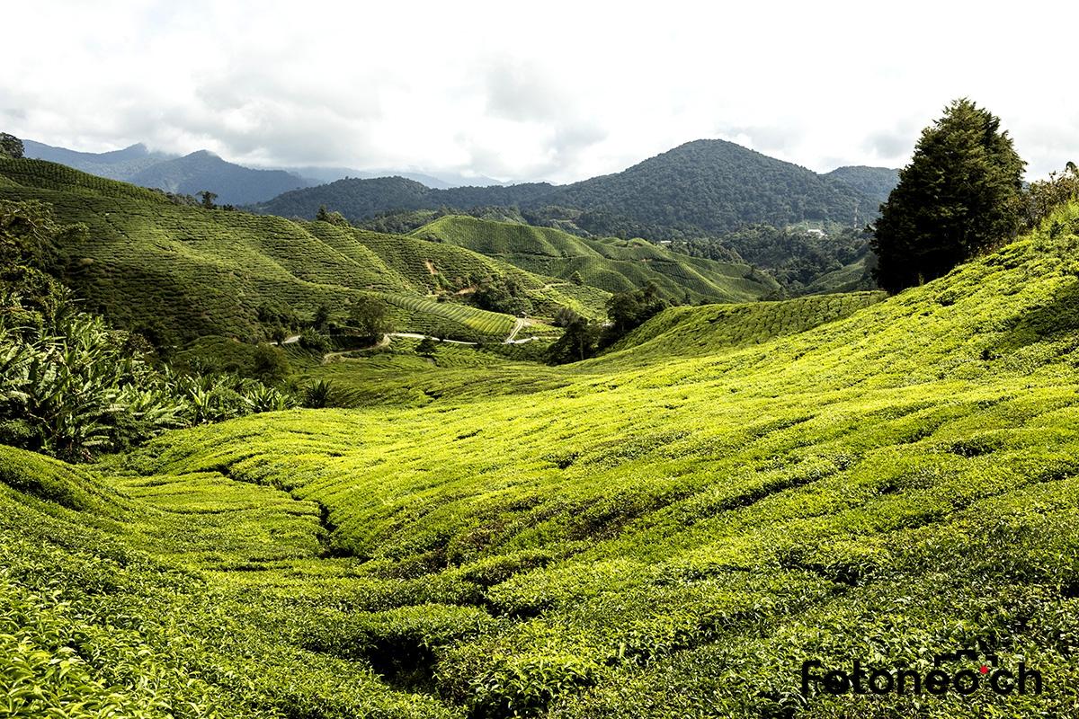 Teeplantage, Malaysia
