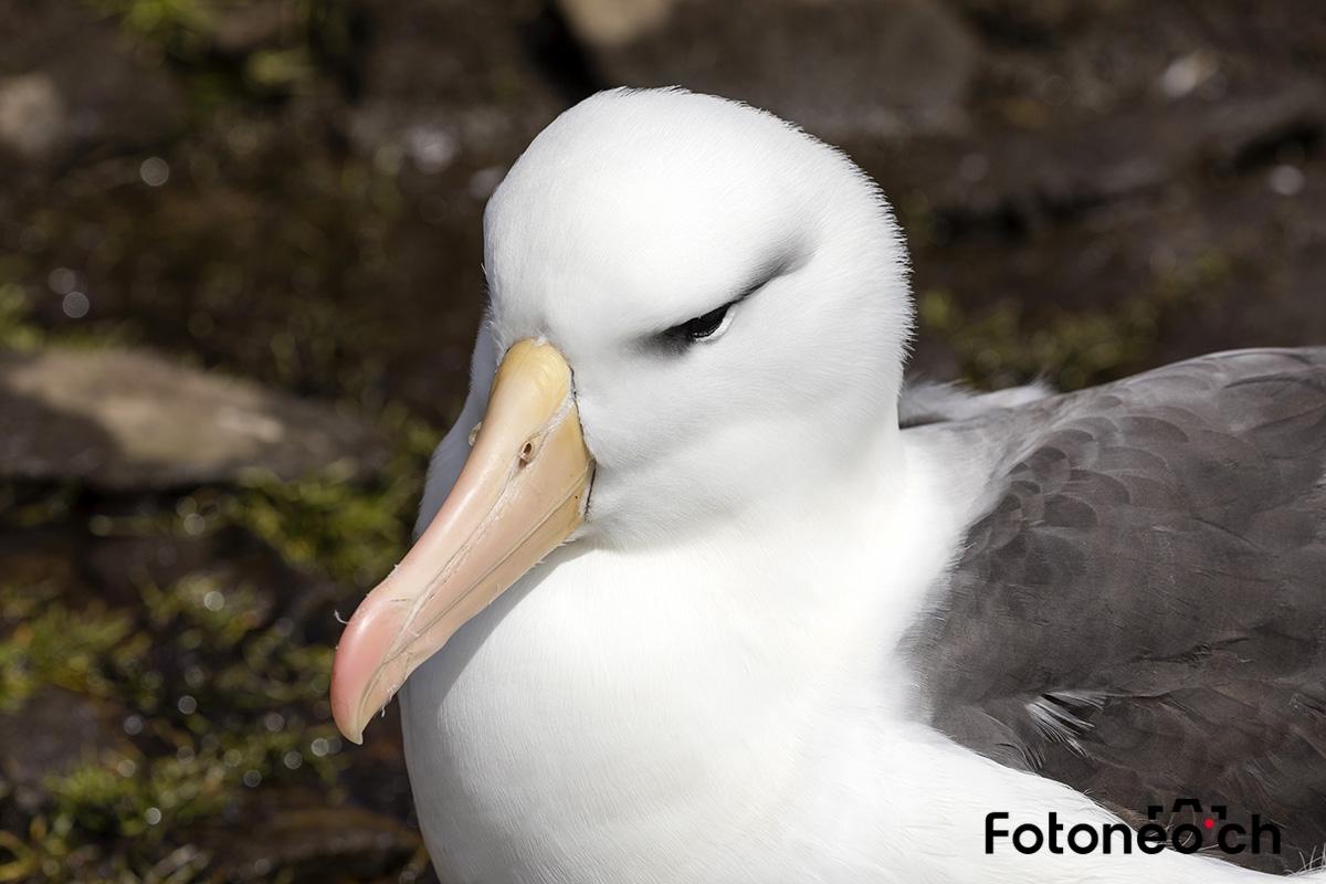 Albatross, Falkland Inseln