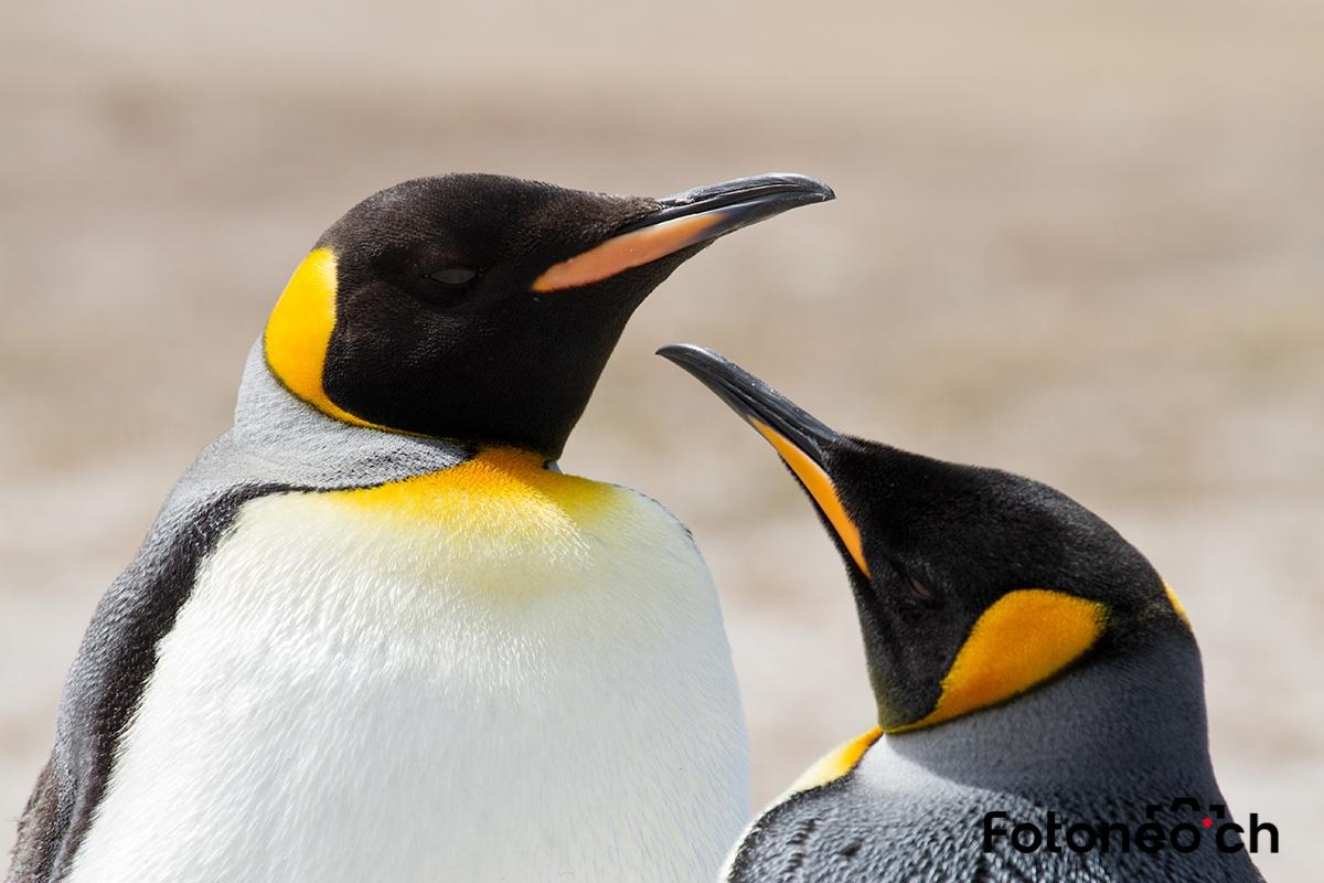 Königspinguine, Falkland Inseln
