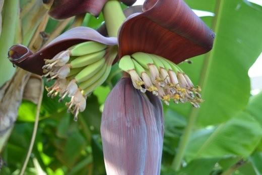 Bananenblüte mit Minibananen.