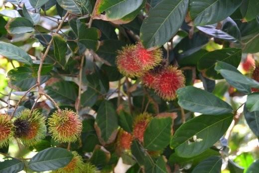 Nephelium Lappaceum. Besser bekannt als Rambutan. Ist ein wenig wie eine stachelige Litschi.